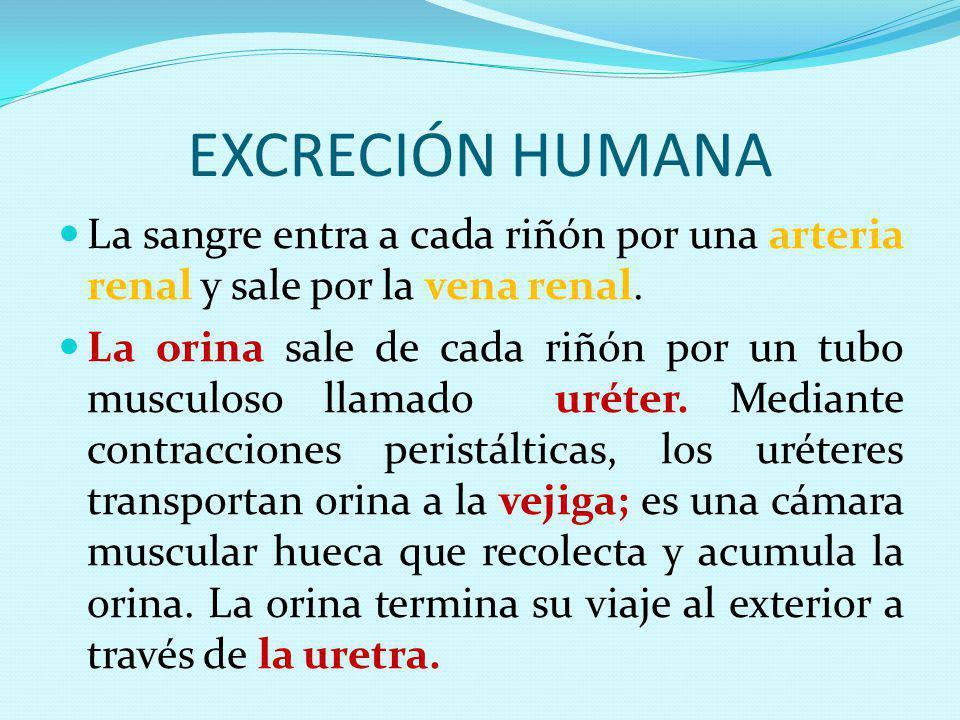 EXCRECIÓN HUMANA La sangre entra a cada riñón por una arteria renal y sale por la vena renal.