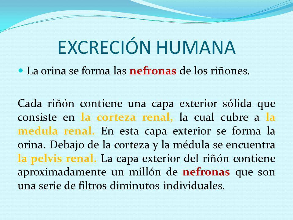 EXCRECIÓN HUMANA La orina se forma las nefronas de los riñones.