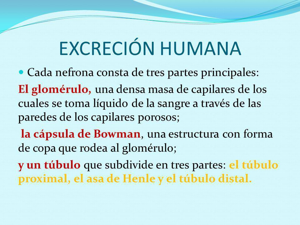 EXCRECIÓN HUMANA Cada nefrona consta de tres partes principales: