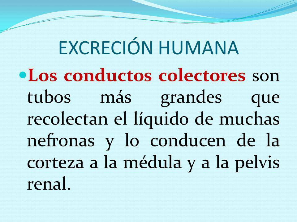 EXCRECIÓN HUMANA