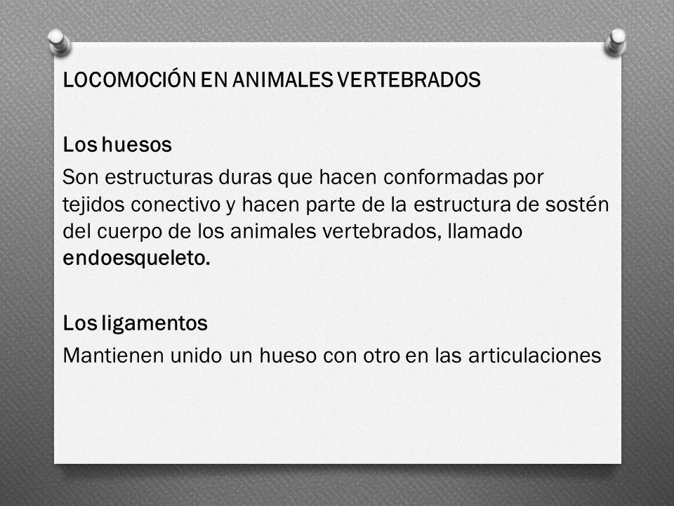 LOCOMOCIÓN EN ANIMALES VERTEBRADOS Los huesos Son estructuras duras que hacen conformadas por tejidos conectivo y hacen parte de la estructura de sostén del cuerpo de los animales vertebrados, llamado endoesqueleto.
