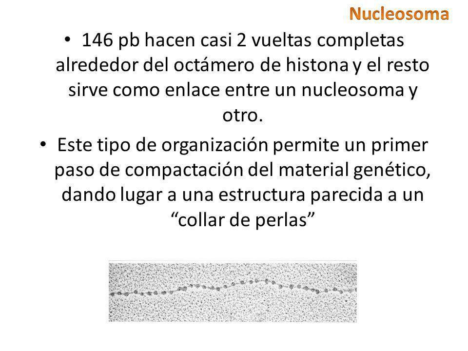 Nucleosoma 146 pb hacen casi 2 vueltas completas alrededor del octámero de histona y el resto sirve como enlace entre un nucleosoma y otro.