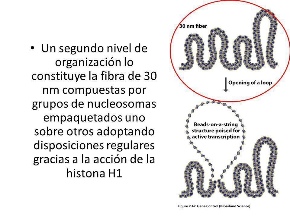 Un segundo nivel de organización lo constituye la fibra de 30 nm compuestas por grupos de nucleosomas empaquetados uno sobre otros adoptando disposiciones regulares gracias a la acción de la histona H1
