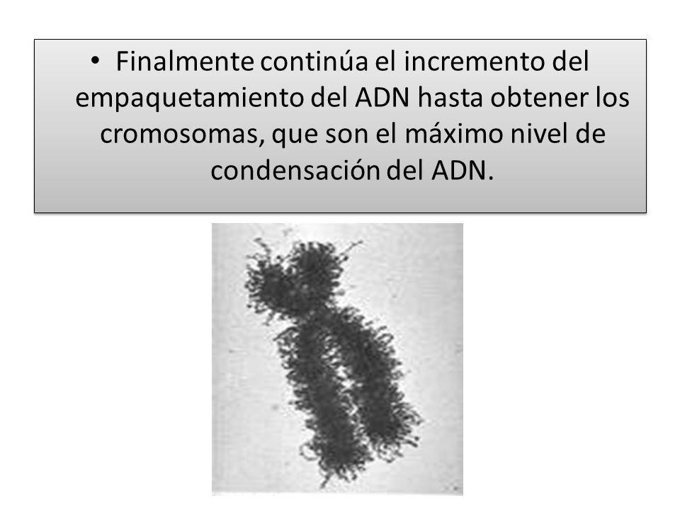 Finalmente continúa el incremento del empaquetamiento del ADN hasta obtener los cromosomas, que son el máximo nivel de condensación del ADN.