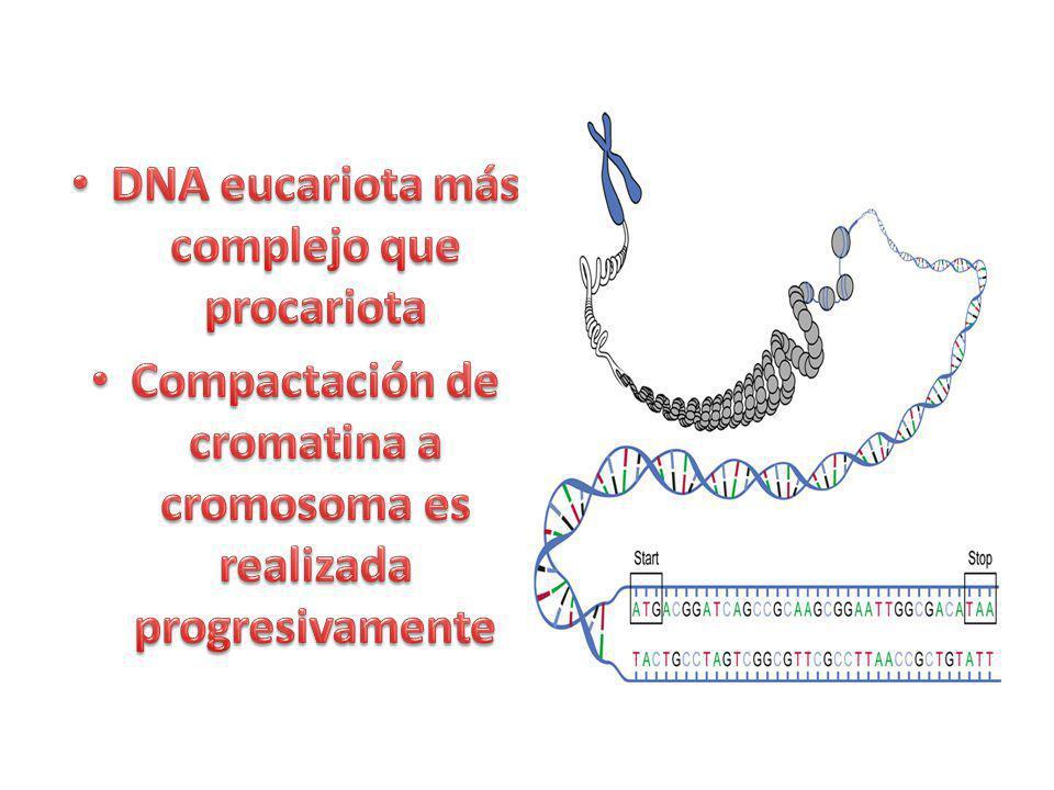 DNA eucariota más complejo que procariota