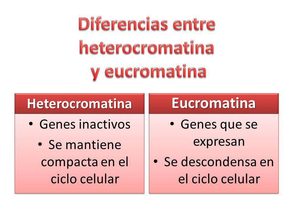 Diferencias entre heterocromatina y eucromatina