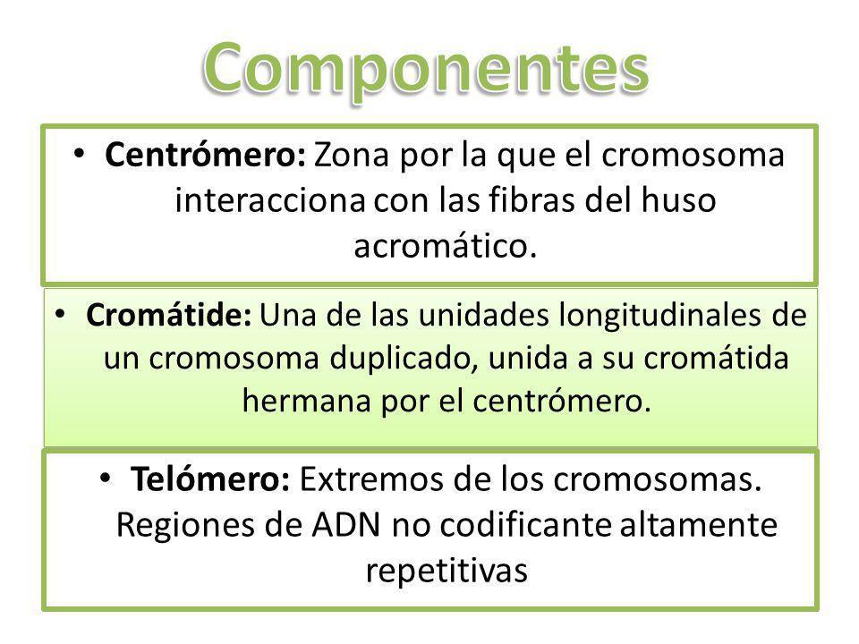 Componentes Centrómero: Zona por la que el cromosoma interacciona con las fibras del huso acromático.