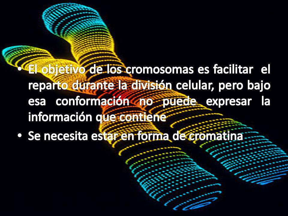 El objetivo de los cromosomas es facilitar el reparto durante la división celular, pero bajo esa conformación no puede expresar la información que contiene