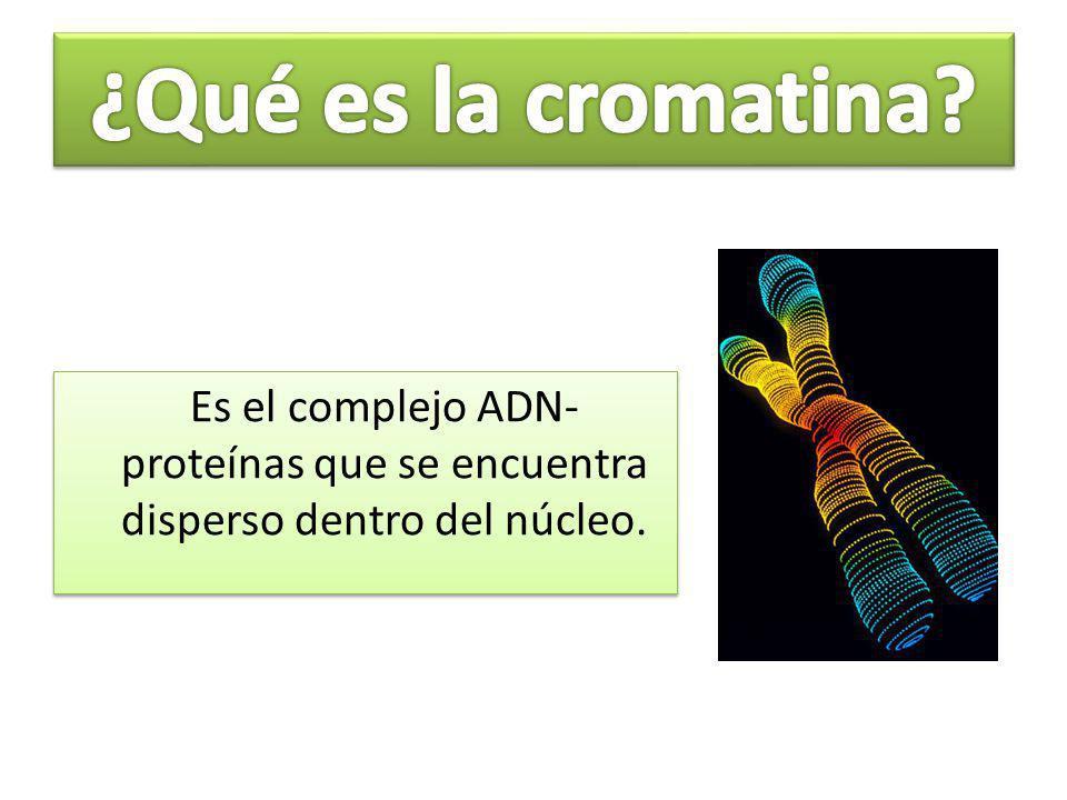 ¿Qué es la cromatina Es el complejo ADN-proteínas que se encuentra disperso dentro del núcleo.