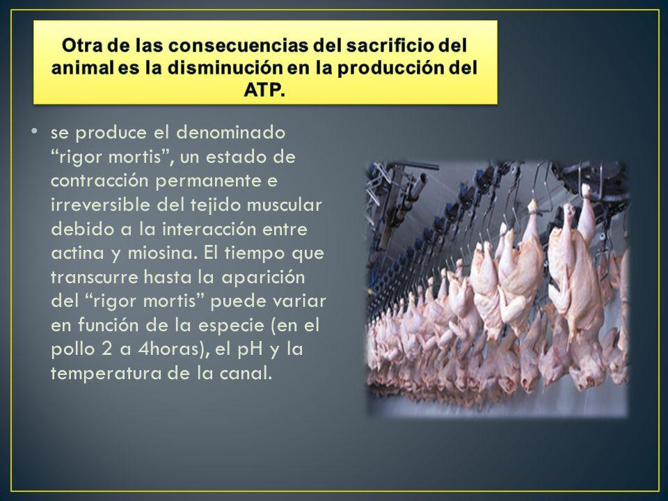 Otra de las consecuencias del sacrificio del animal es la disminución en la producción del ATP.