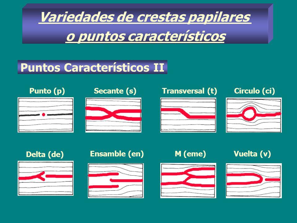 Variedades de crestas papilares o puntos característicos
