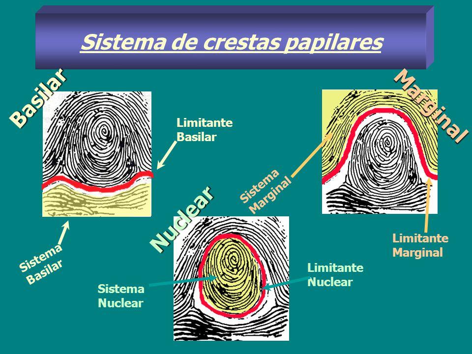 Sistema de crestas papilares