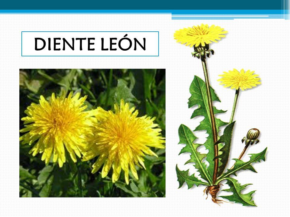 DIENTE LEÓN