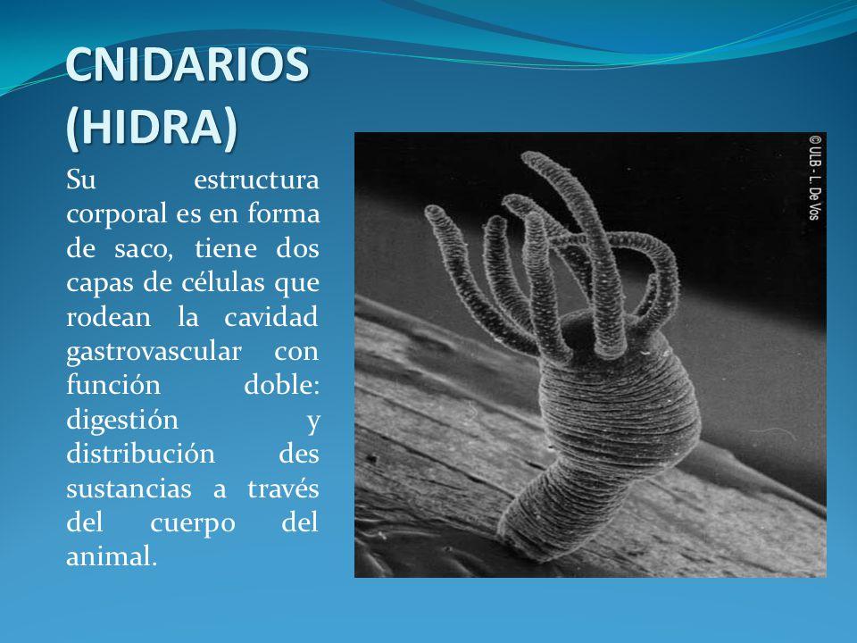 CNIDARIOS (HIDRA)