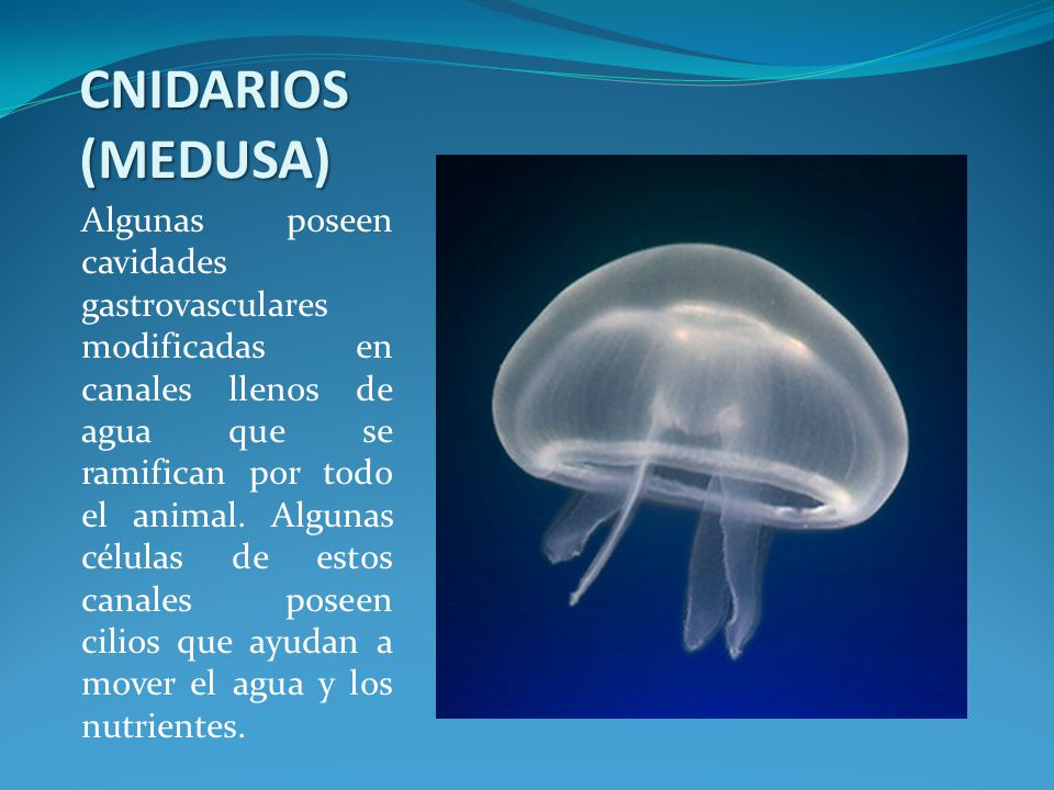 CNIDARIOS (MEDUSA)