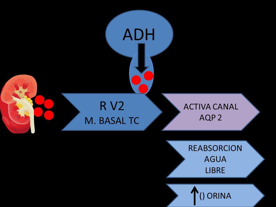 ADH R V2 M. BASAL TC ACTIVA CANAL AQP 2 REABSORCION AGUA LIBRE