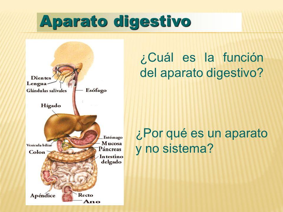 Aparato digestivo ¿Cuál es la función del aparato digestivo