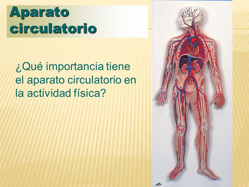 Aparato circulatorio ¿Qué importancia tiene el aparato circulatorio en la actividad física
