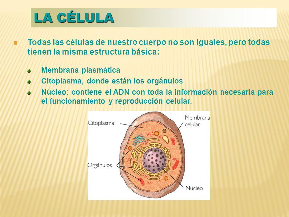 La célula Todas las células de nuestro cuerpo no son iguales, pero todas tienen la misma estructura básica: