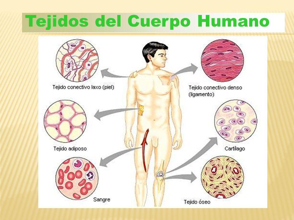 Tejidos del Cuerpo Humano