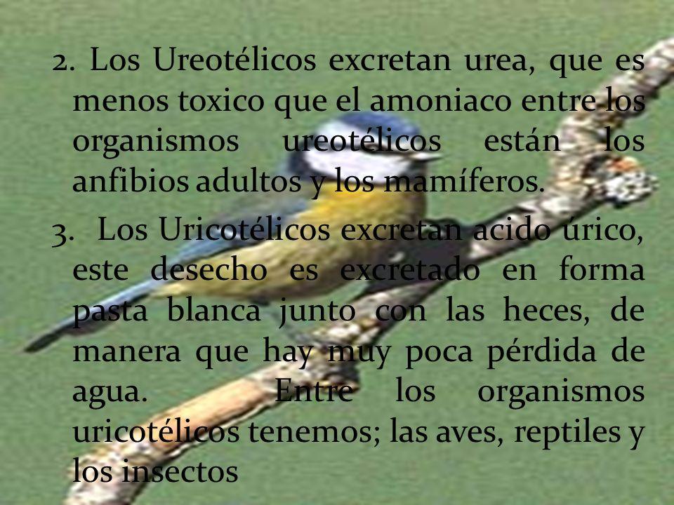2. Los Ureotélicos excretan urea, que es menos toxico que el amoniaco entre los organismos ureotélicos están los anfibios adultos y los mamíferos.