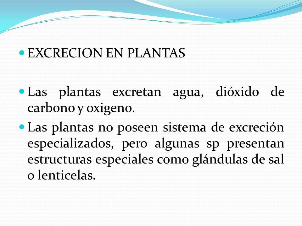 EXCRECION EN PLANTAS Las plantas excretan agua, dióxido de carbono y oxigeno.