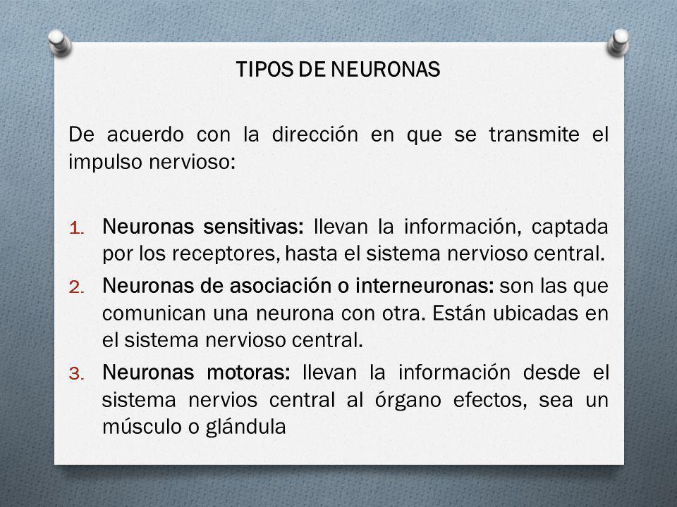 TIPOS DE NEURONAS De acuerdo con la dirección en que se transmite el impulso nervioso: