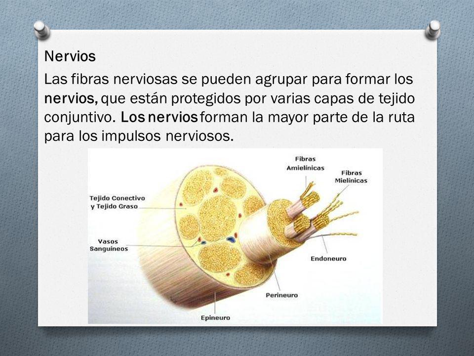 Nervios Las fibras nerviosas se pueden agrupar para formar los nervios, que están protegidos por varias capas de tejido conjuntivo.