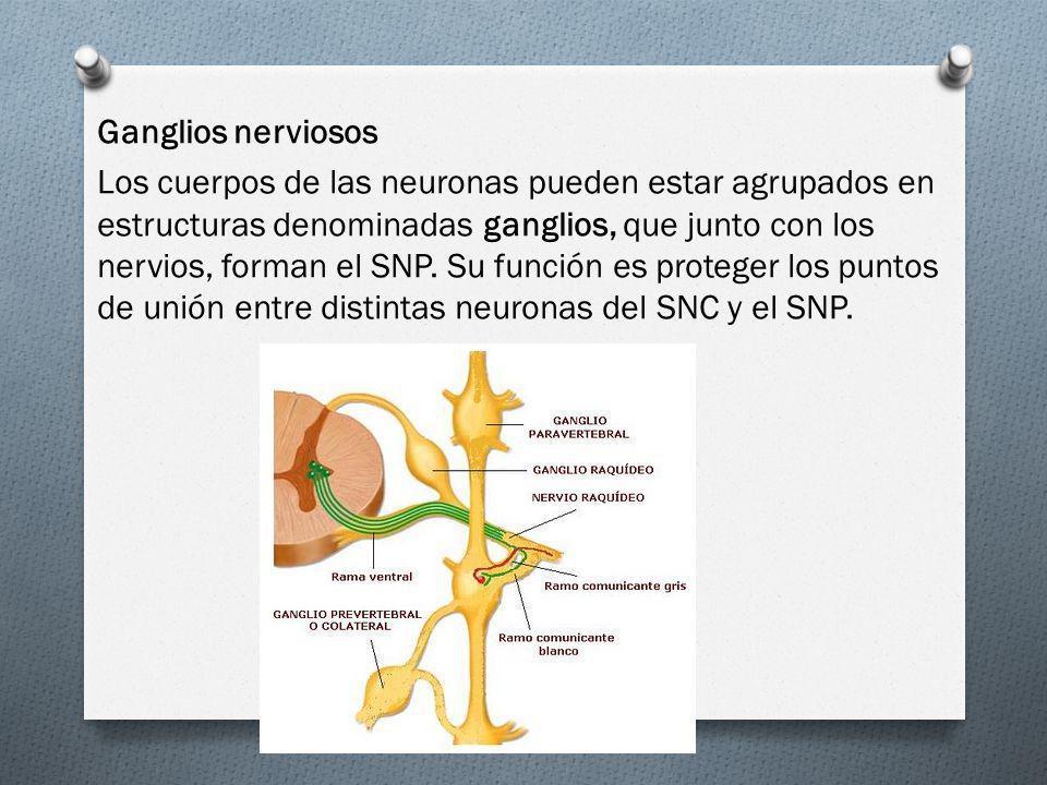 Ganglios nerviosos Los cuerpos de las neuronas pueden estar agrupados en estructuras denominadas ganglios, que junto con los nervios, forman el SNP.
