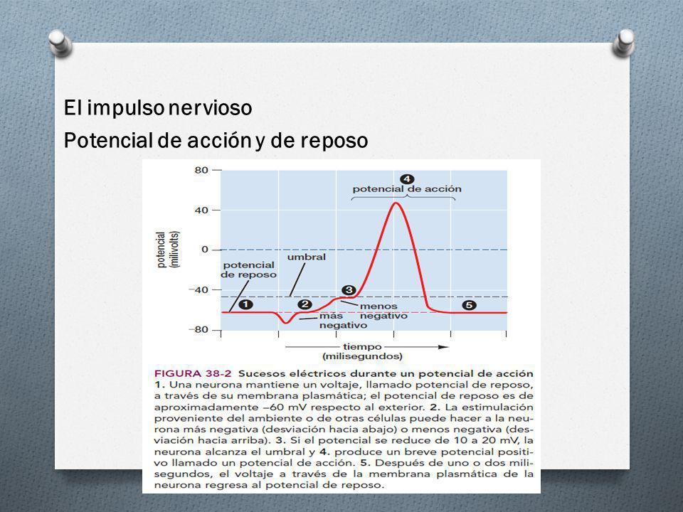El impulso nervioso Potencial de acción y de reposo