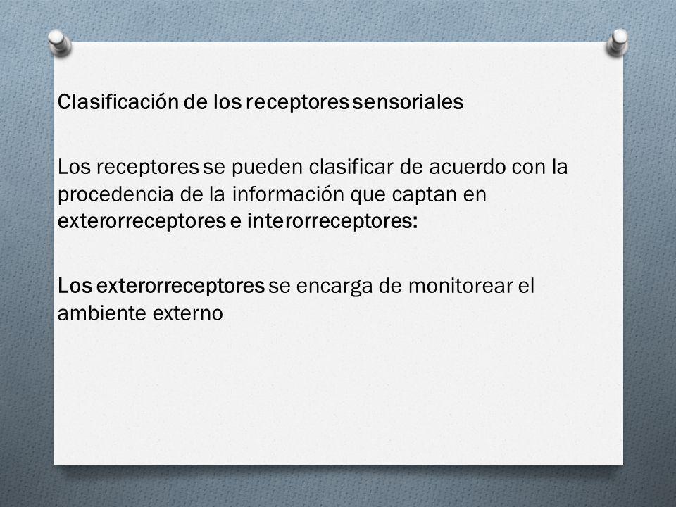 Clasificación de los receptores sensoriales Los receptores se pueden clasificar de acuerdo con la procedencia de la información que captan en exterorreceptores e interorreceptores: Los exterorreceptores se encarga de monitorear el ambiente externo