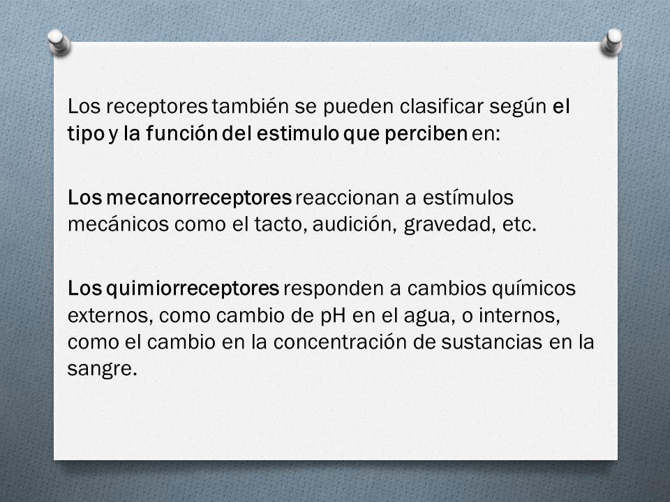 Los receptores también se pueden clasificar según el tipo y la función del estimulo que perciben en: Los mecanorreceptores reaccionan a estímulos mecánicos como el tacto, audición, gravedad, etc.