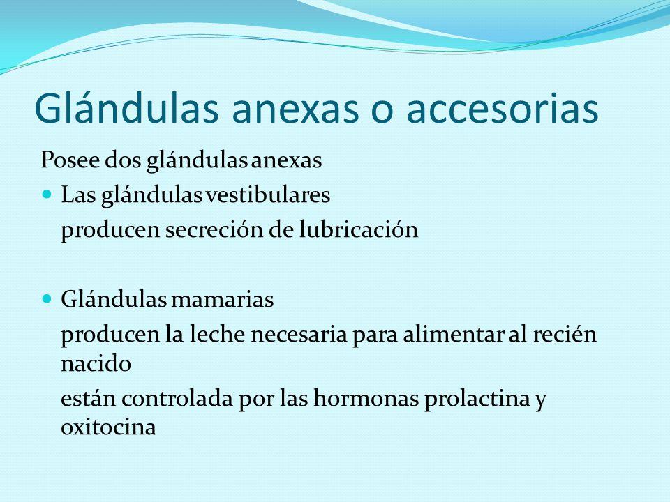 Glándulas anexas o accesorias