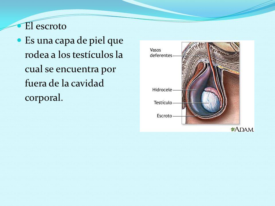 El escroto Es una capa de piel que. rodea a los testículos la. cual se encuentra por. fuera de la cavidad.