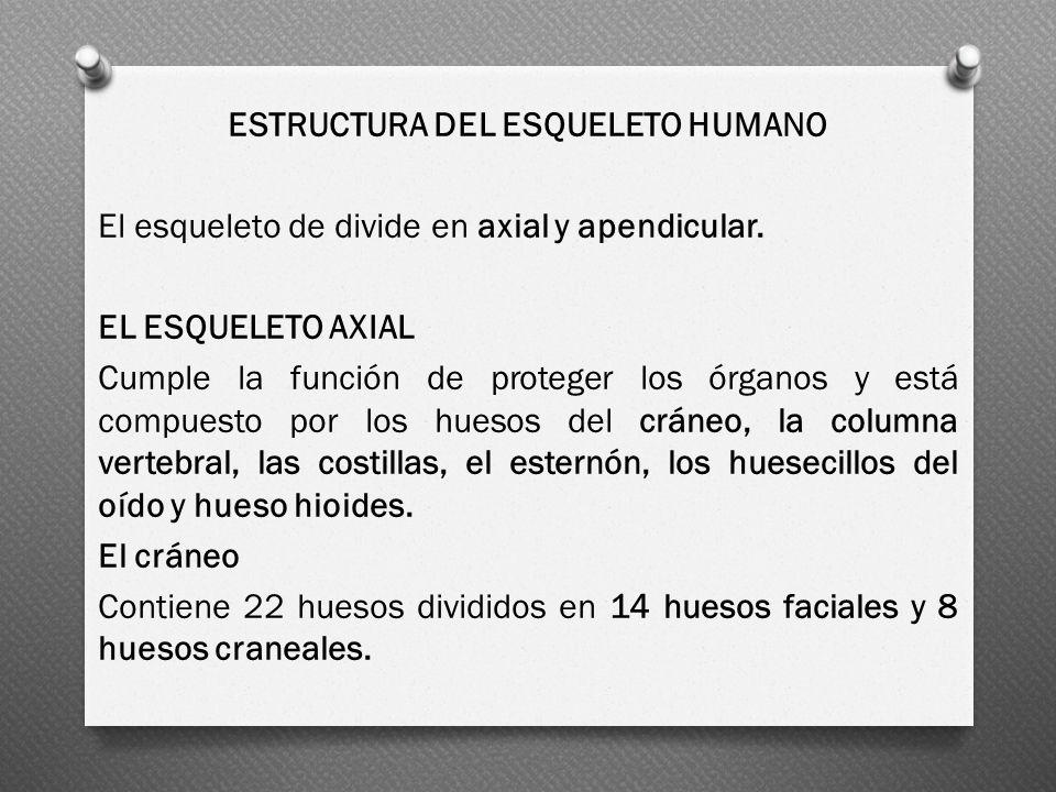ESTRUCTURA DEL ESQUELETO HUMANO El esqueleto de divide en axial y apendicular.