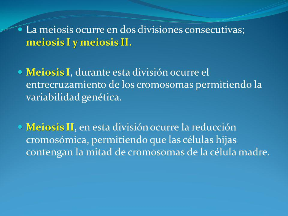 La meiosis ocurre en dos divisiones consecutivas; meiosis I y meiosis II.