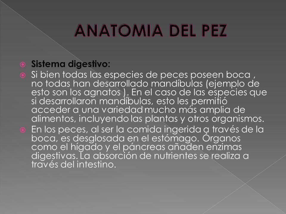 ANATOMIA DEL PEZ Sistema digestivo: