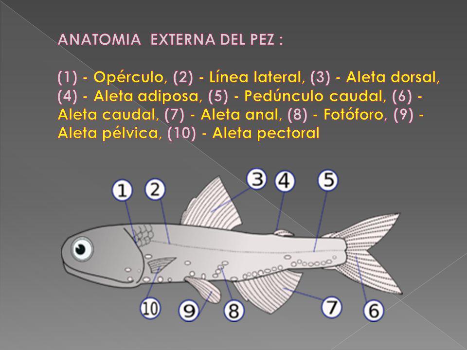 ANATOMIA EXTERNA DEL PEZ : (1) - Opérculo, (2) - Línea lateral, (3) - Aleta dorsal, (4) - Aleta adiposa, (5) - Pedúnculo caudal, (6) - Aleta caudal, (7) - Aleta anal, (8) - Fotóforo, (9) - Aleta pélvica, (10) - Aleta pectoral