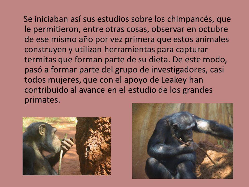 Se iniciaban así sus estudios sobre los chimpancés, que le permitieron, entre otras cosas, observar en octubre de ese mismo año por vez primera que estos animales construyen y utilizan herramientas para capturar termitas que forman parte de su dieta.