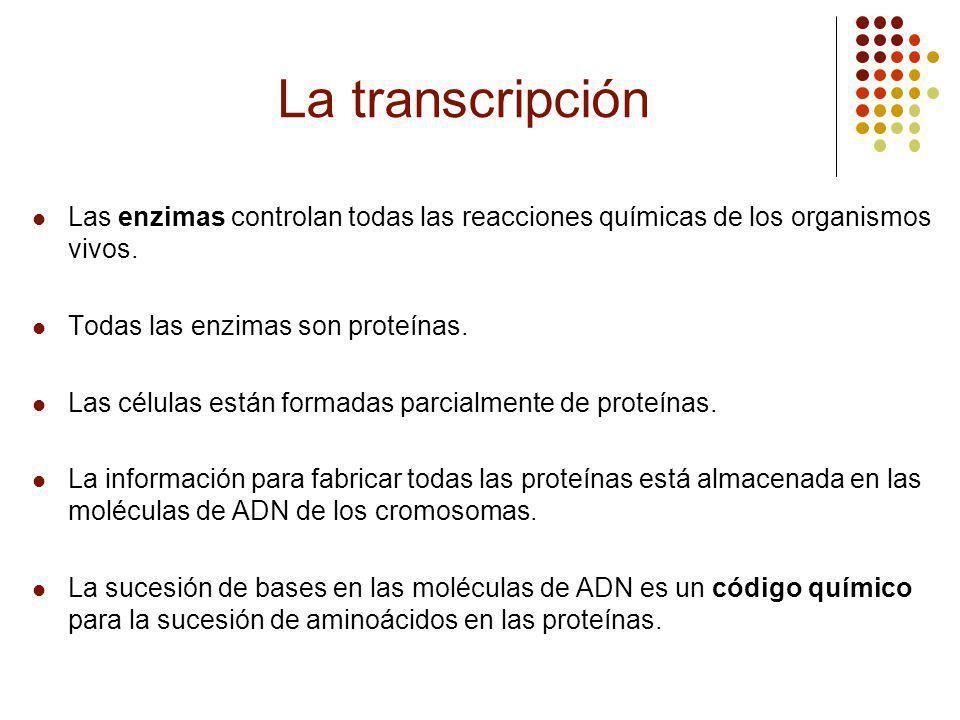 La transcripción Las enzimas controlan todas las reacciones químicas de los organismos vivos. Todas las enzimas son proteínas.