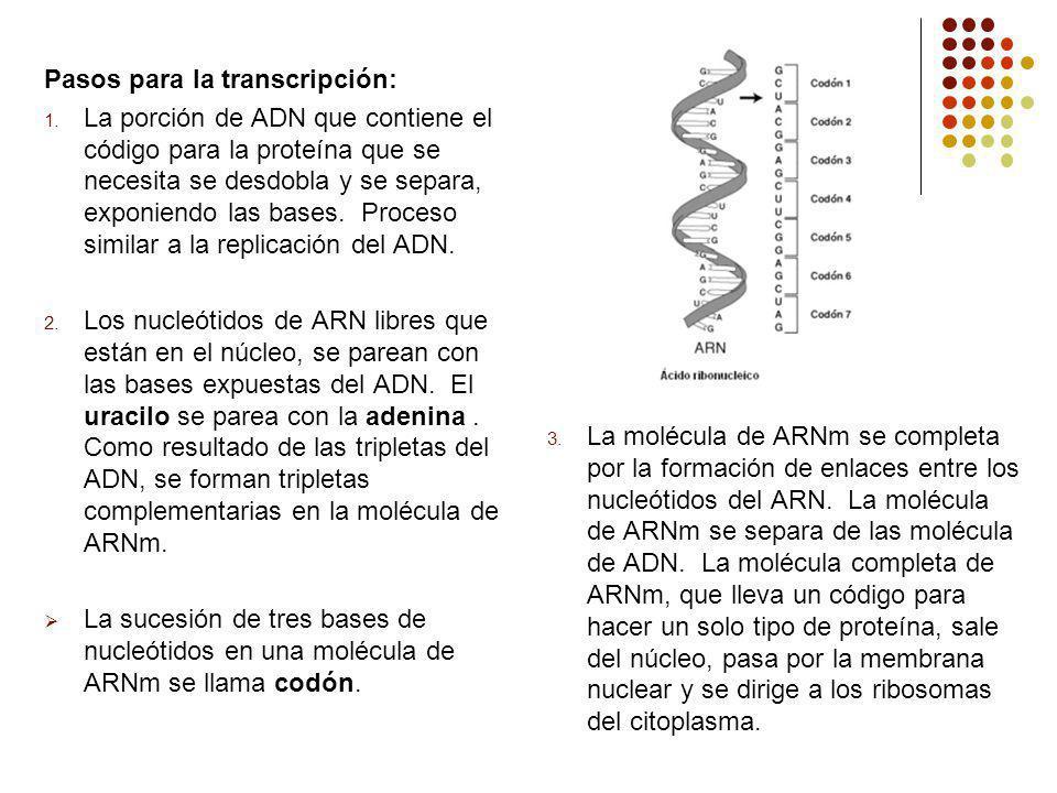 La molécula de ARNm se completa por la formación de enlaces entre los nucleótidos del ARN. La molécula de ARNm se separa de las molécula de ADN. La molécula completa de ARNm, que lleva un código para hacer un solo tipo de proteína, sale del núcleo, pasa por la membrana nuclear y se dirige a los ribosomas del citoplasma.