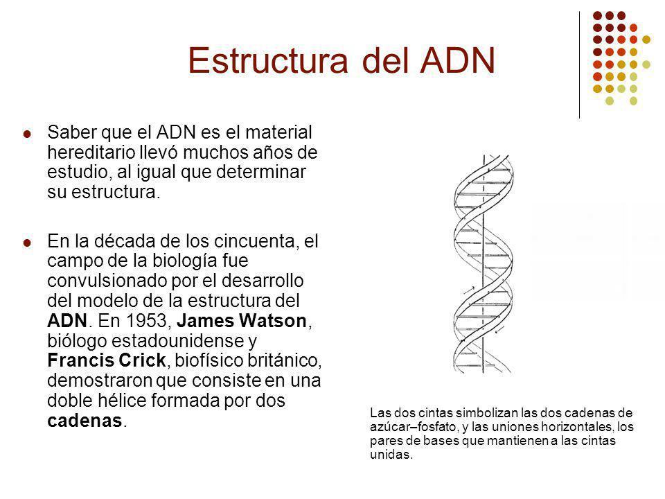 Estructura del ADN Saber que el ADN es el material hereditario llevó muchos años de estudio, al igual que determinar su estructura.