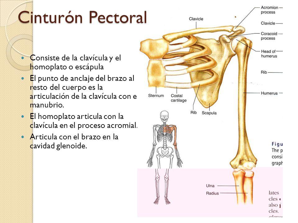Cinturón Pectoral Consiste de la clavícula y el homoplato o escápula