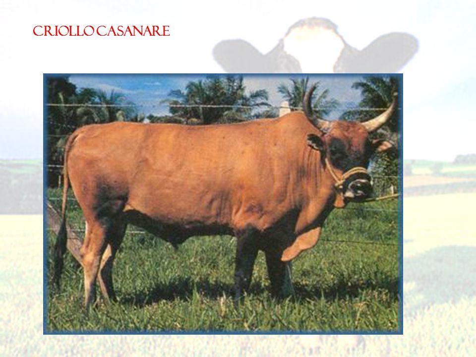 CRIOLLO CASANARE