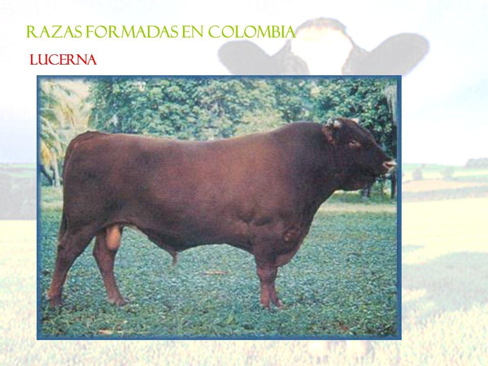 RAZAS FORMADAS EN COLOMBIA