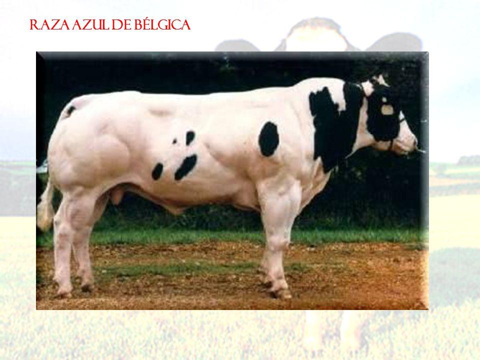 RAZA AZUL DE BÉLGICA