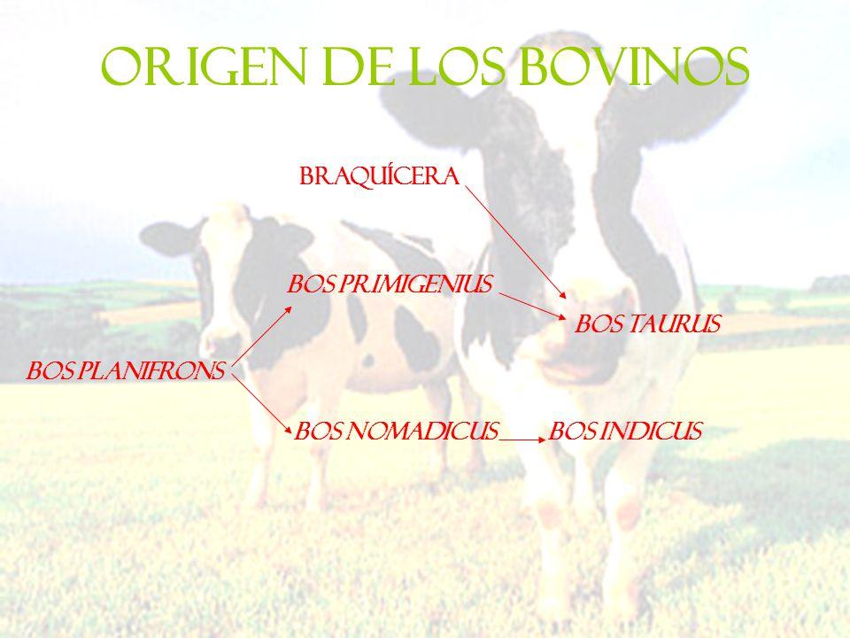 ORIGEN DE LOS BOVINOS braquícera Bos Primigenius Bos taurus