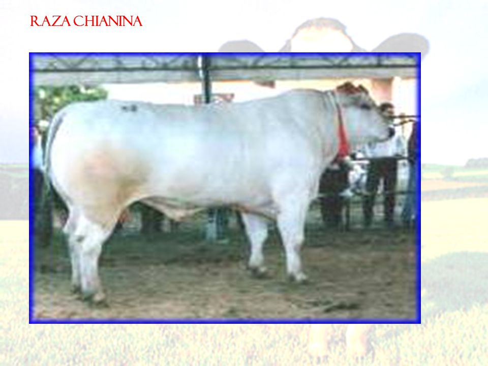 RAZA CHIANINA