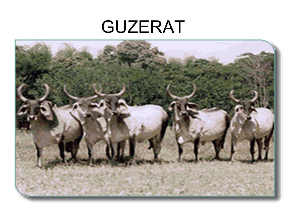 GUZERAT