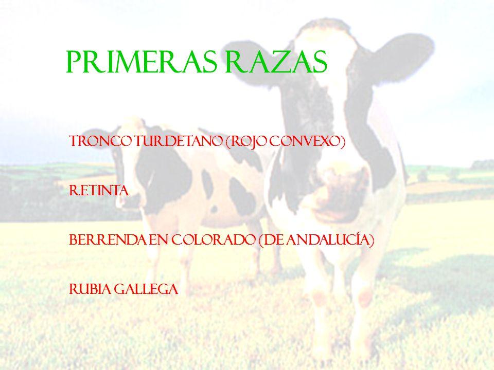 PRIMERAS RAZAS Tronco turdetano (Rojo convexo) Retinta